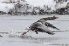 Goose Take Off Stock Photos