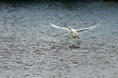 Goose takes off and gets to spread its wings over the blue water Royalty Free Stock Images
