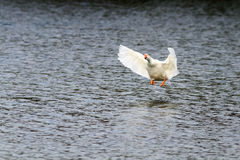 Goose takes off and gets to spread its wings over the blue water Stock Image