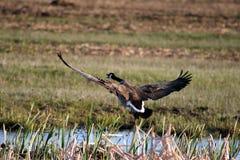 Goose Taking Flight Royalty Free Stock Photo
