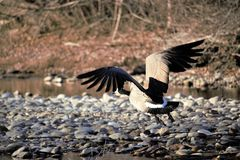 A goose taking flight from the Boise river. In Boise Idaho. River rock, brush and in the background royalty free stock photo
