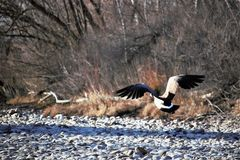 A goose taking flight from the Boise river. In Boise Idaho. River rock, brush and in the background stock images
