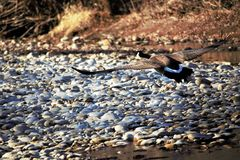 A Canadian goose taking flight from the Boise river. In Boise Idaho. River rock, brush and in the background. appears to be gliding over the river bank stock image