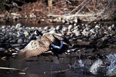 A goose taking flight from the Boise river. In Boise Idaho. River rock, brush and in the background stock photo