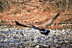 A Canadian goose taking flight from the Boise river. In Boise Idaho. River rock, brush and in the background. Wings spread royalty free stock photo