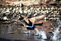 A Canadian goose taking flight from the Boise river. A goose taking flight from the Boise river in Boise Idaho. River rock, brush and in the background. running stock photography
