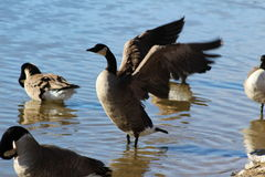 Goose Taking Flight Royalty Free Stock Image