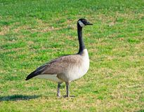 Goose taking a walk on the grass of a golf course royalty free stock photography