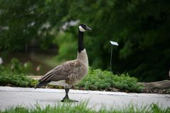 Taking a stroll. Goose taking a walk in the park stock images