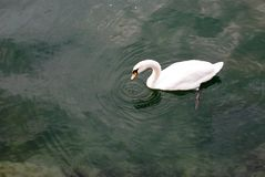 Goose tapping the water. A goose tapping the lake creating ripples stock photos