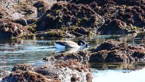 Goose in a Tide Pool stock video