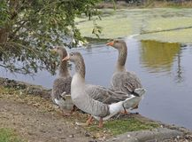 Goose trio Royalty Free Stock Images