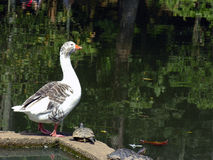 Goose and turtles. A very beautiful scene of park I visited Stock Photo