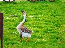 Goose in Tuscany, Italy stock photo