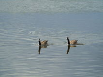 Goose. Two canadian geese coming towards the bread Stock Image