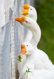 Goose - vegan Royalty Free Stock Photography