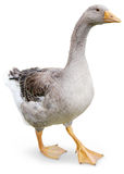 Goose walking. Goose waling on white background Royalty Free Stock Photo