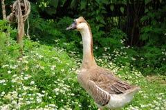 The goose Royalty Free Stock Photos