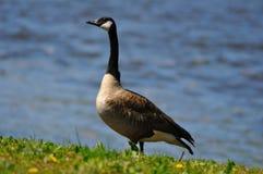 Goose walking close to a lake stock photo