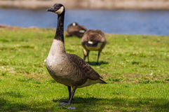 Goose walking close to a lake with other gooses behind Royalty Free Stock Image