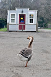 Goose walking down road with building Royalty Free Stock Photography