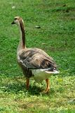 A goose Royalty Free Stock Photography