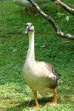 A goose. Is walking on the grass Stock Images