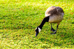 Goose walking in grass. Goose walking in a grassy field Royalty Free Stock Photos