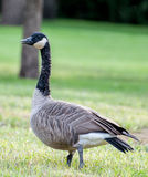 Goose walking in green grass Stock Images