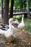 Goose walking Royalty Free Stock Photo