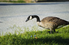 Goose walking by the road looking for something to eat. A goose walking by the road looking for something to eat Royalty Free Stock Photos