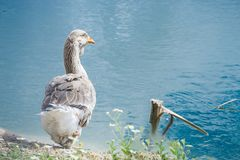 Goose walking and sitting on the grass in a zoo near a pond in w stock photos