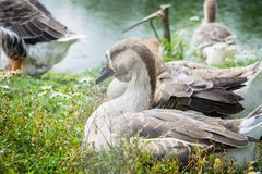 Goose walking and sitting on the grass in a zoo near a pond in w royalty free stock photos
