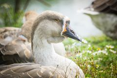 Goose walking and sitting on the grass in a zoo near a pond in w royalty free stock images