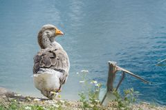 Goose walking and sitting on the grass in a zoo near a pond in w stock images