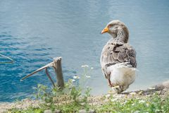 Goose walking and sitting on the grass in a zoo near a pond in w stock image