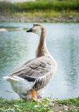 Goose walking and sitting on the grass in a zoo near a pond in w stock photography