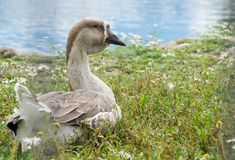 Goose walking and sitting on the grass in a zoo near a pond in w royalty free stock photography