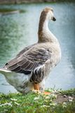 Goose walking and sitting on the grass in a zoo near a pond in w royalty free stock image