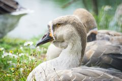 Goose walking and sitting on the grass in a zoo near a pond in w royalty free stock photo