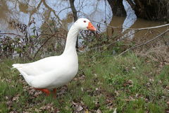 Goose walks along stream Stock Photos