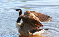 Goose- Watch Me royalty free stock photo