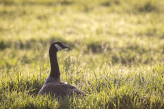Goose watching the sunrise Stock Photography