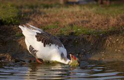 Goose in the Water Bath Stock Photography