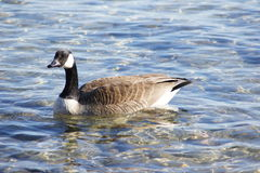 Goose on Water Stock Photos