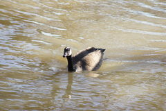 Goose in Water Stock Images