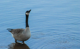 Goose and water drops. Goose bathing in the lake and water drops falling from his beak Stock Images