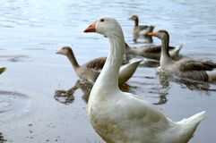 Goose in the water Stock Image