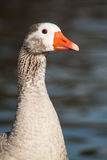 Goose. A goose on the water looking ahead Royalty Free Stock Photo