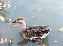 Goose in the water Royalty Free Stock Photo